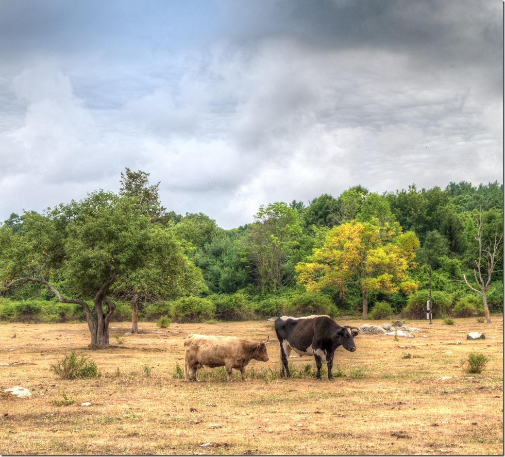Cattle Color  HDR L1003157-1