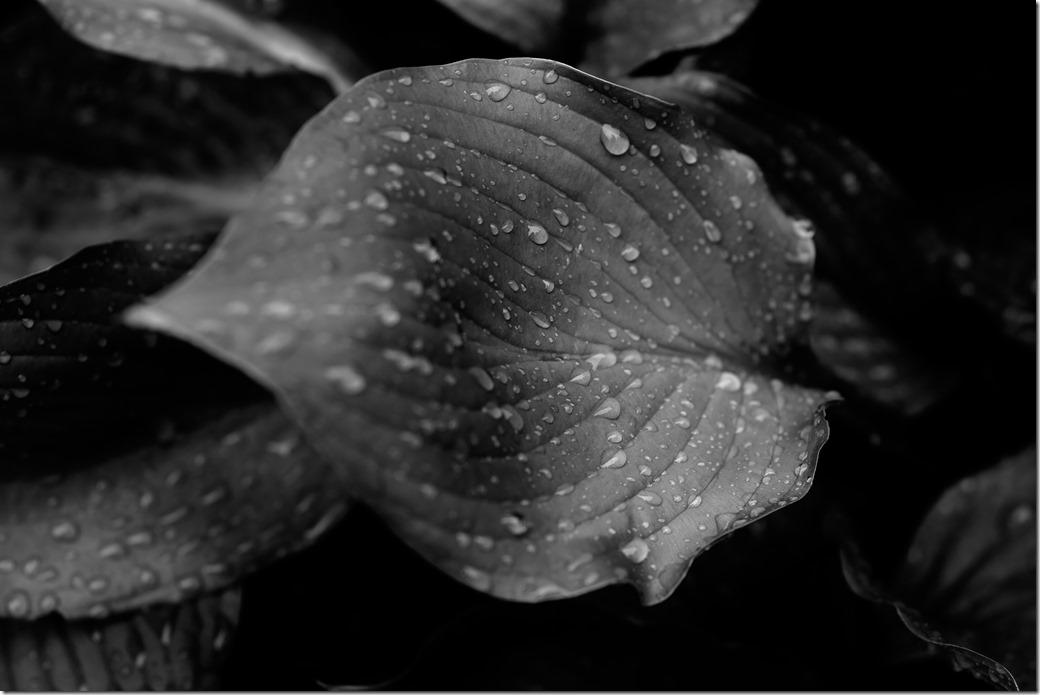 Single Leaf BW_SDI2843
