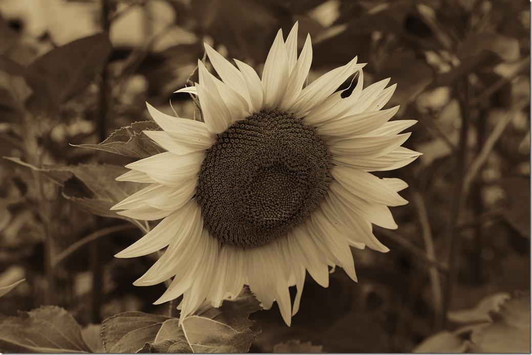 flower SDQH1233