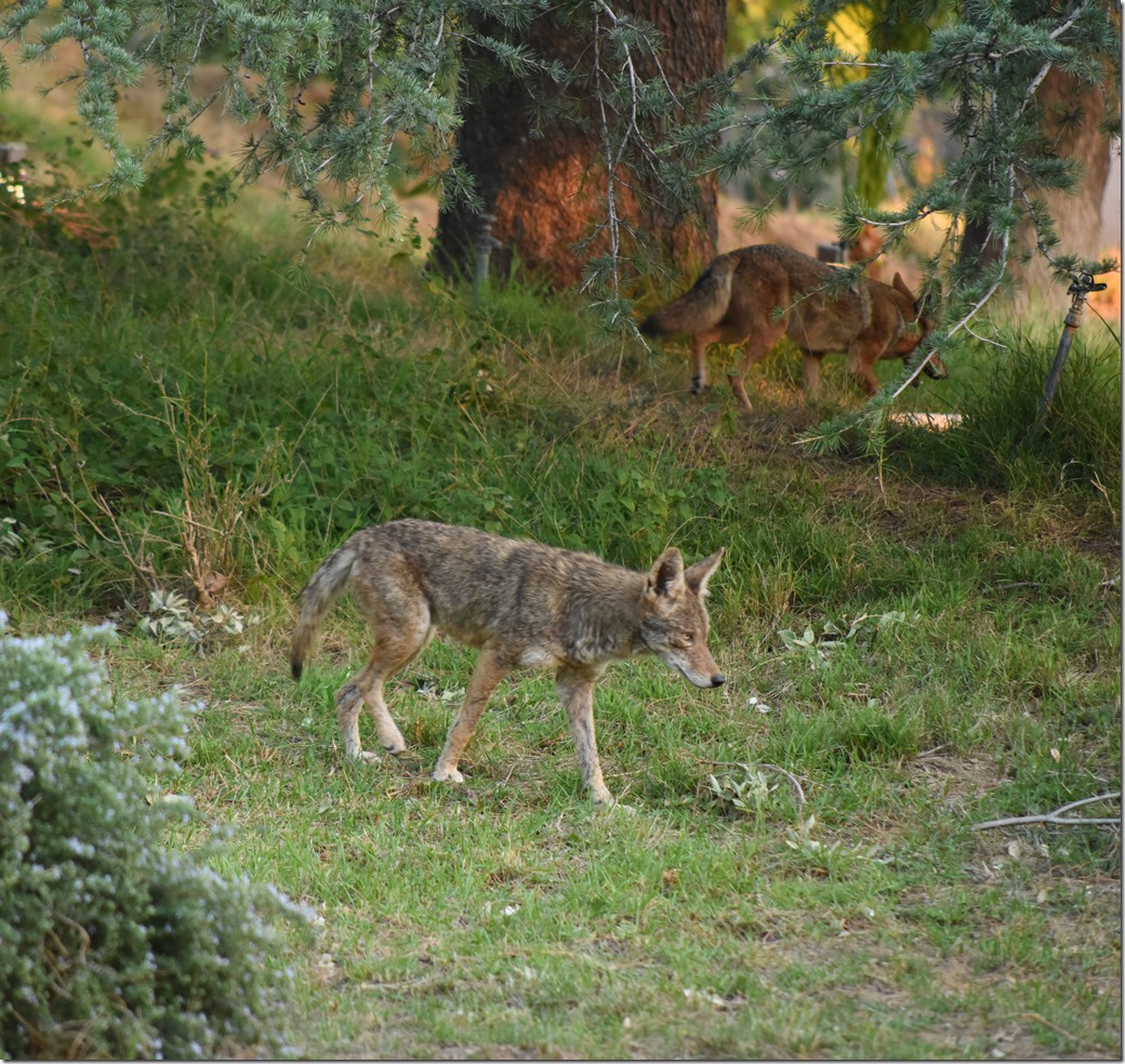 Coyote DSC_3414