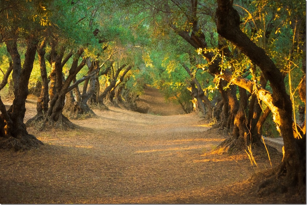 Olive grove for unbroken word