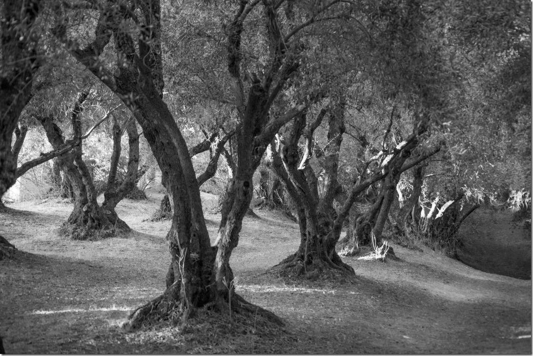Trees bw DSC_3403