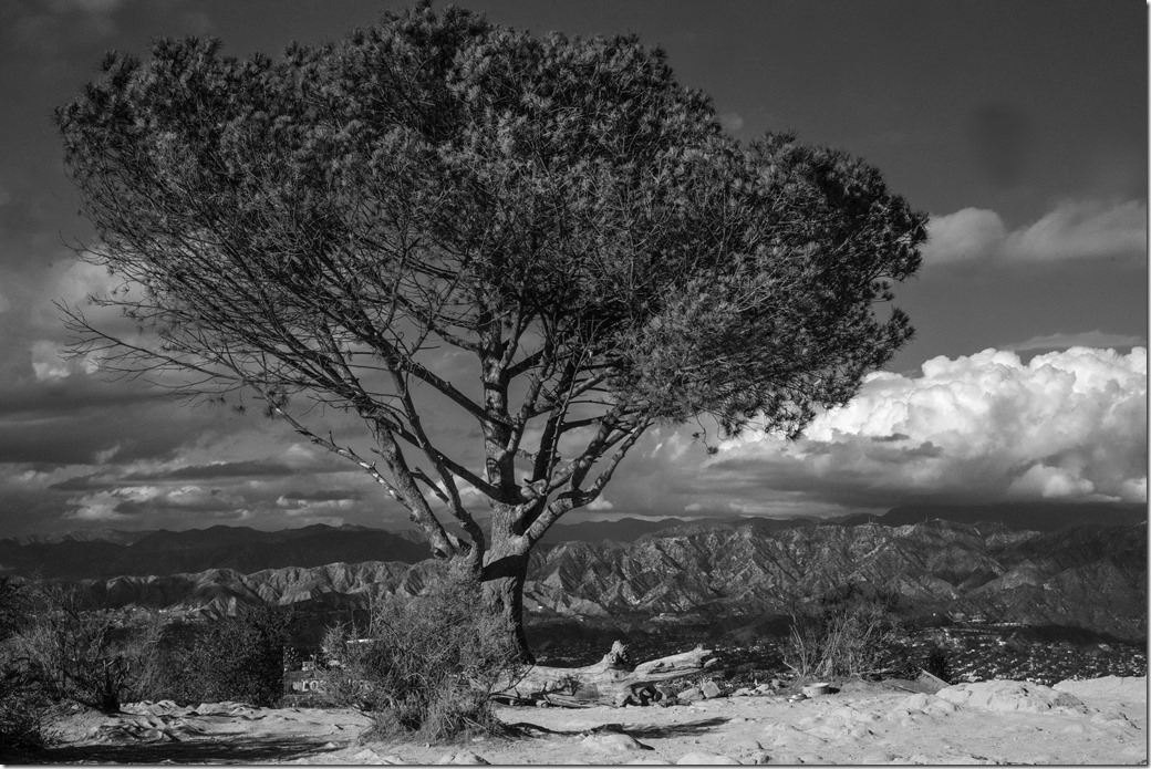 Wisdom Tree bw DSC02177-Recovered