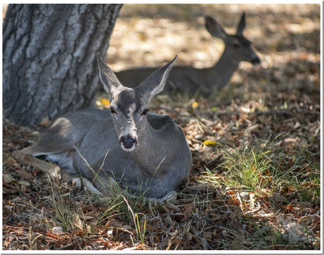 Deer DSC00012