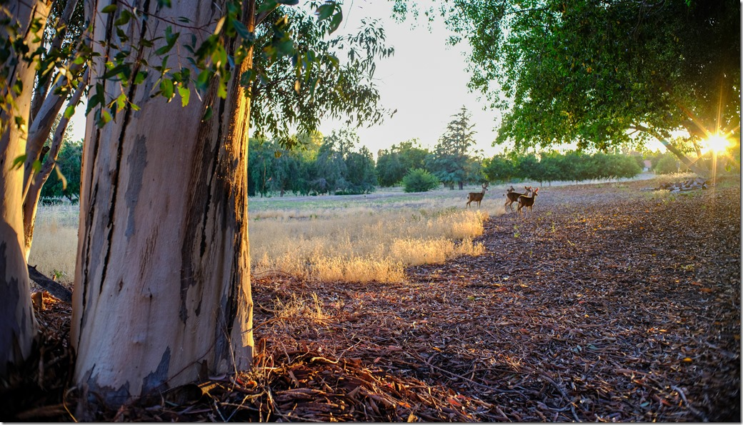 Deer at sunset DSCF7287