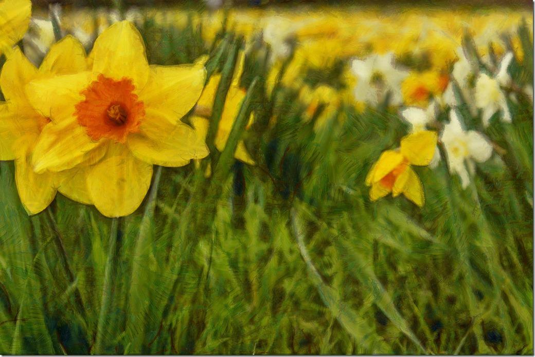 Daffodils COMBINED IMGP0439