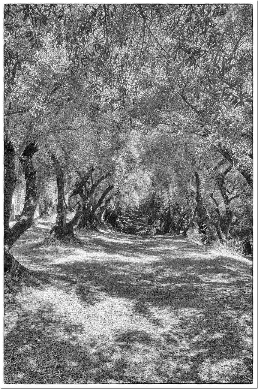 oLIVE GROVE R0020559