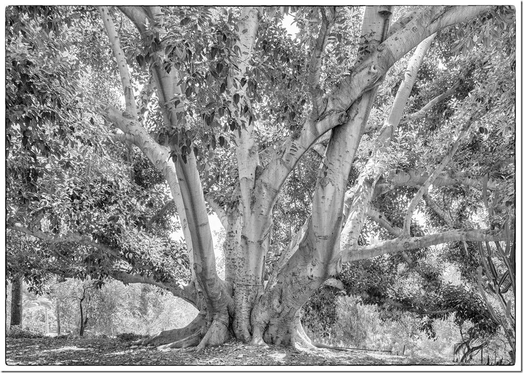 Bay Fig Morton Tree L1020049
